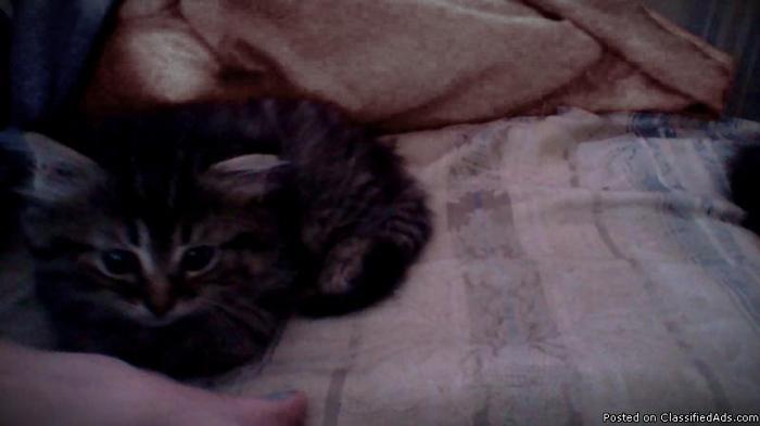 2 Mane Coon kittens
