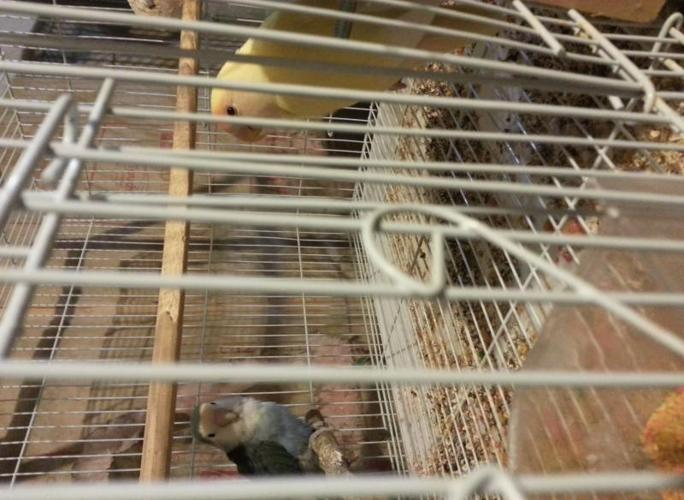 2 proven pairs of lovebirds for sale