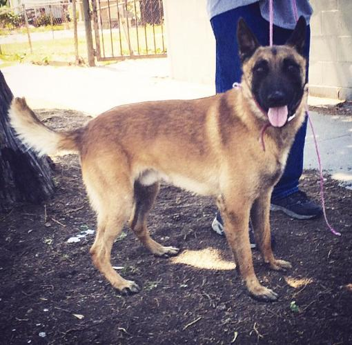 2yr old male Belgian Malinois with obedience trained & some protection!