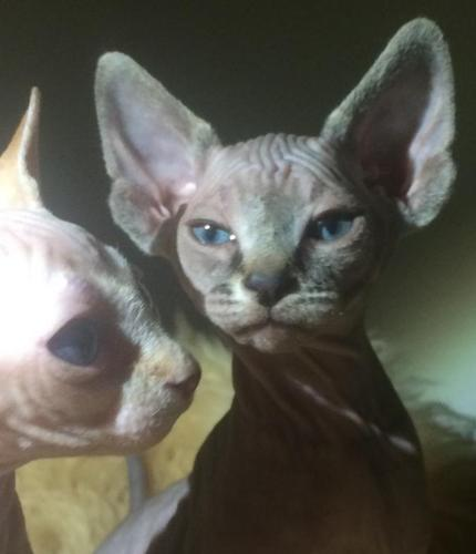 A beautiful family of Male Sphynx Kittens And One Male Elf Sphynx kitten