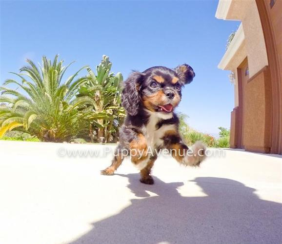 ACA Registration // Tricolor Cavalier King Charles Spaniel