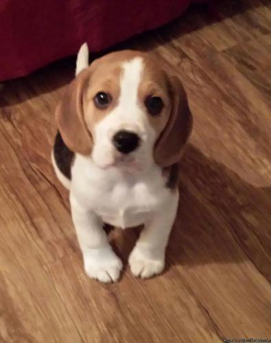 Adorable boy and girl beagle pups for new homes