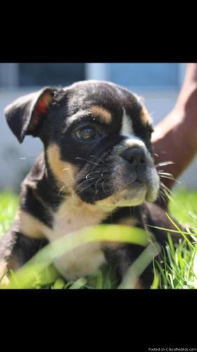Adorable English Bulldog female puppy