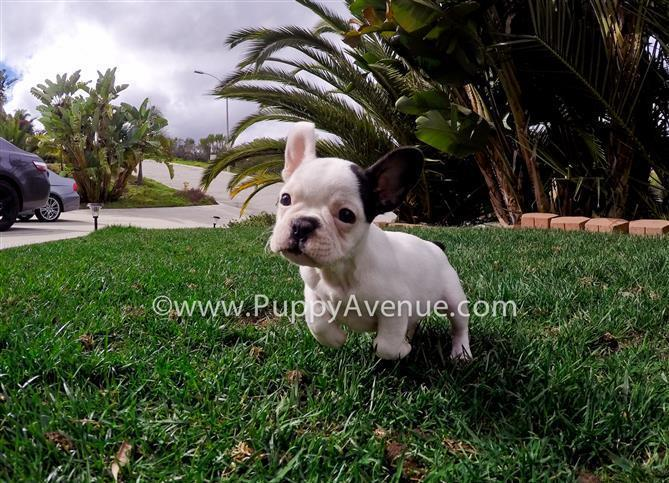 Adorable Frenchie Puppy // Female from Hungarian Lines