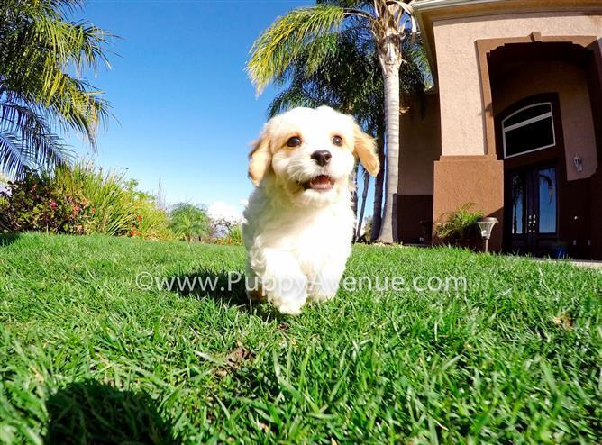 Adorable Male CavaChon Puppy w/ the Greatest Personality!