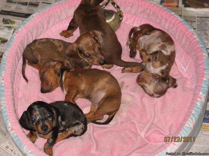 Dachshund Puppies For Sale In Houston