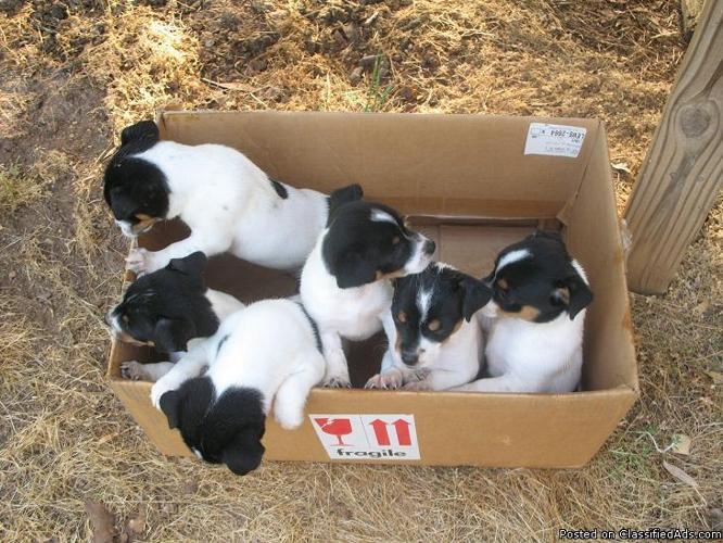 rat terrier puppies for sale