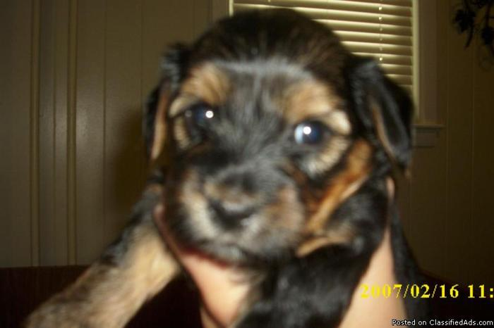 Adorable Yorkie Chon Puppies Black And Tan Price 350 400 For