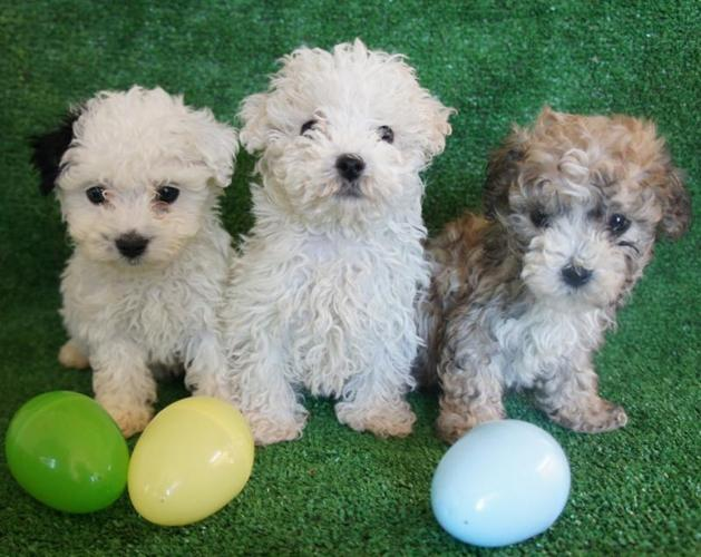 Adorables French Poodle Males !!!