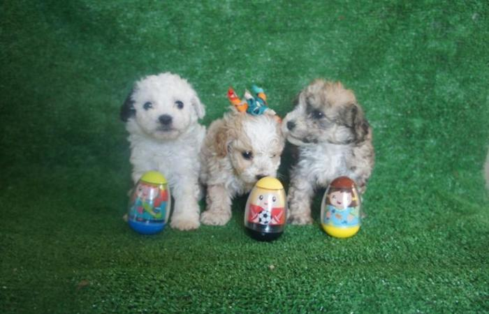Adorables French Poodle Toys !!!