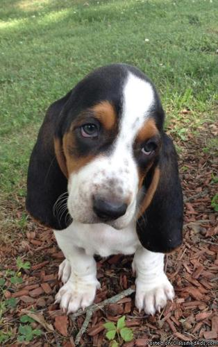Akc Basset Hound Puppies For Sale In Blountville Tennessee Your