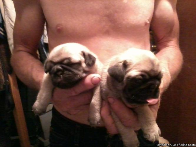 AKC Chinese Pug puppies - Price: $300-$350 for sale in