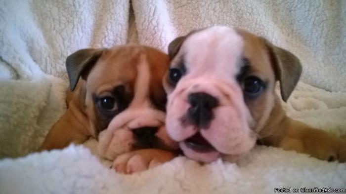 AKC English Bulldog puppies.
