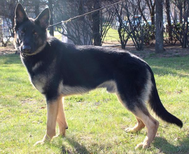AKC German Shepherd