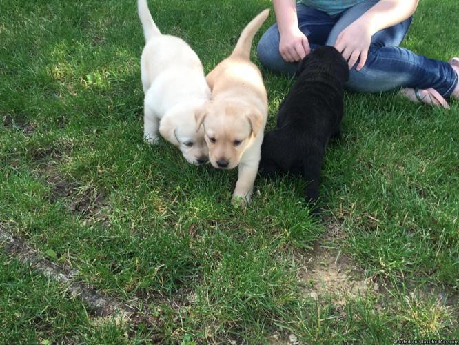 AKC Lab Puppies Championship Bloodline