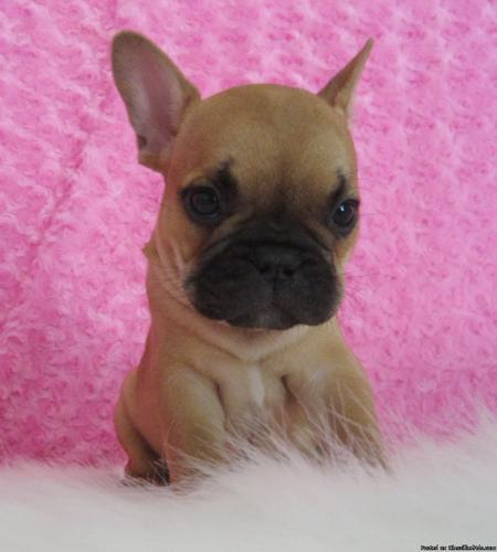 AKC Male French Bull dog Curry
