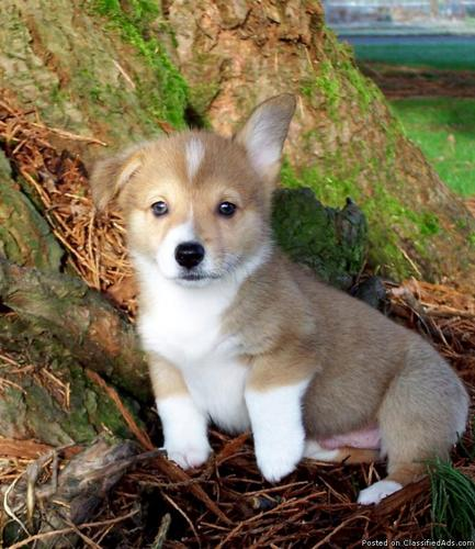AKC Pembroke Welsh Corgi Puppies - Price: $700 00 for sale