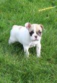 AKC registration Male and Female Blue French Bulldog Puppies