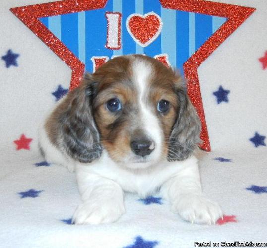 Akc Toy Miniature Dachshund Piebald Puppies Price 500 For Sale