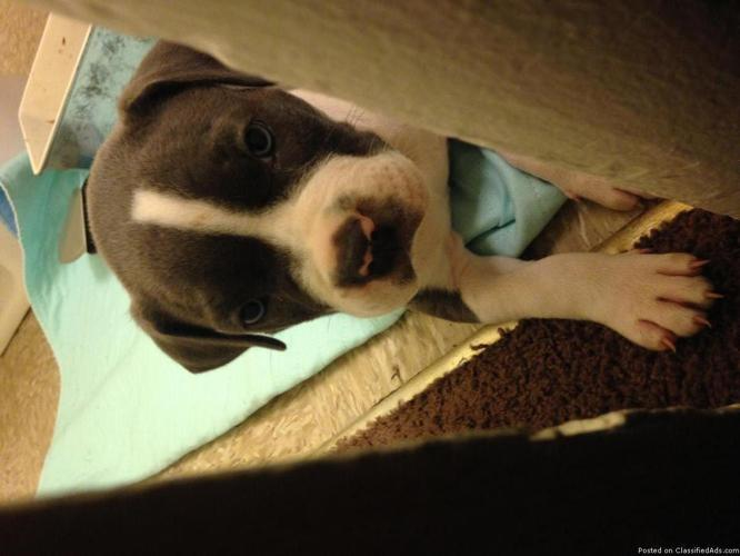 All blue pit 6 weeks GIRL