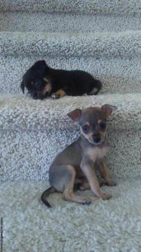 Almost 9WEEKS OLD CHIHUAHUA PUPPYS