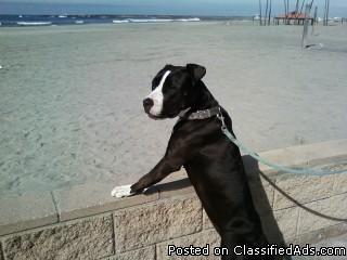 American Pitbull Terrier - Price: 700