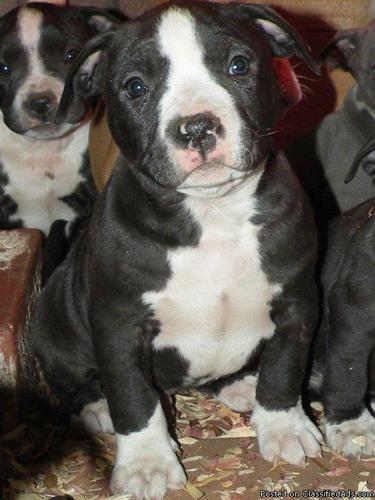 American Pitbull Terrier Puppies! - Price: $250 for sale in