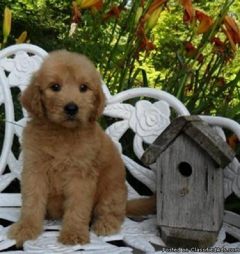 Annie Goldendoodle