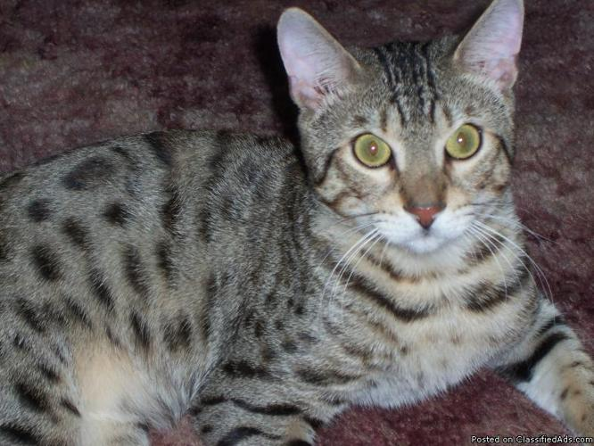 bEAUTIFUL BENGAL STUD CAT/ 17 MONTHS OLD - Price: 800.00