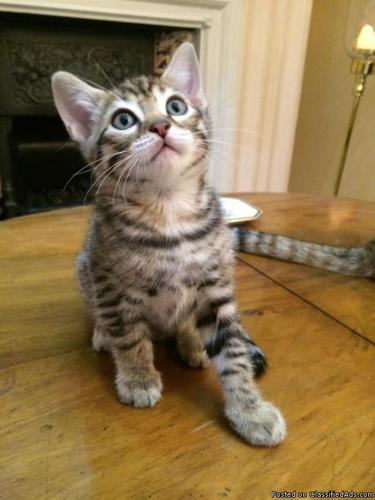 Beautiful Brown Spotted Bengal Kittens