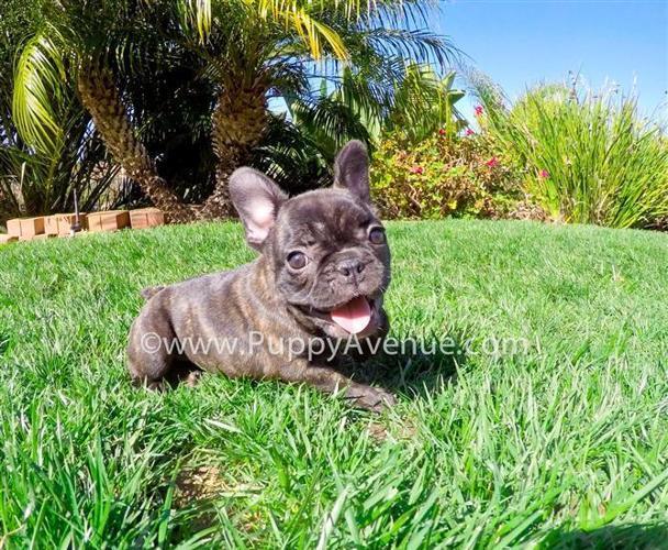 Beautiful Female AKC French Bulldog Puppy for Sale