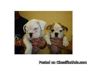 BEAUTIFUL PURE BREED ENGLISH BULLDOG PUPPIES - Price: 650