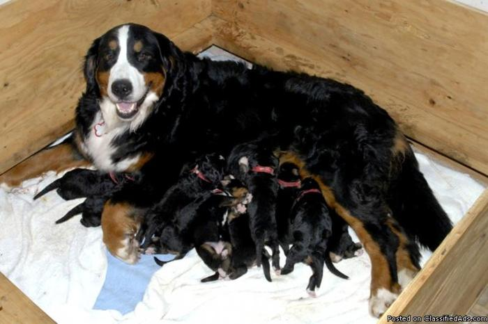 Bernese mountain dogs for sale in wisconsin animalgals