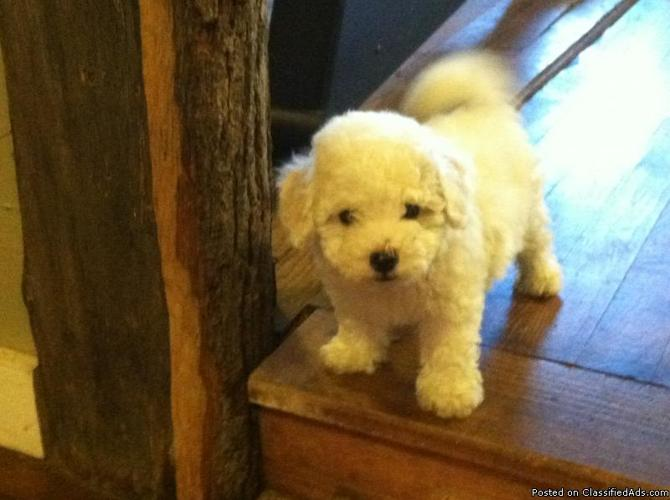 Bichon Frise Puppies for sale in Harrison, Arkansas - Your