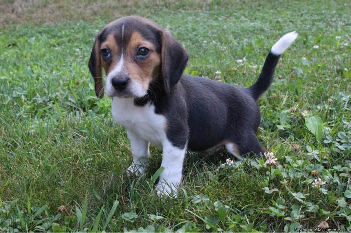 Bingo Male Beagle