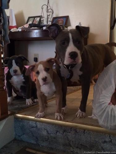 Blue and fawn pitbulls