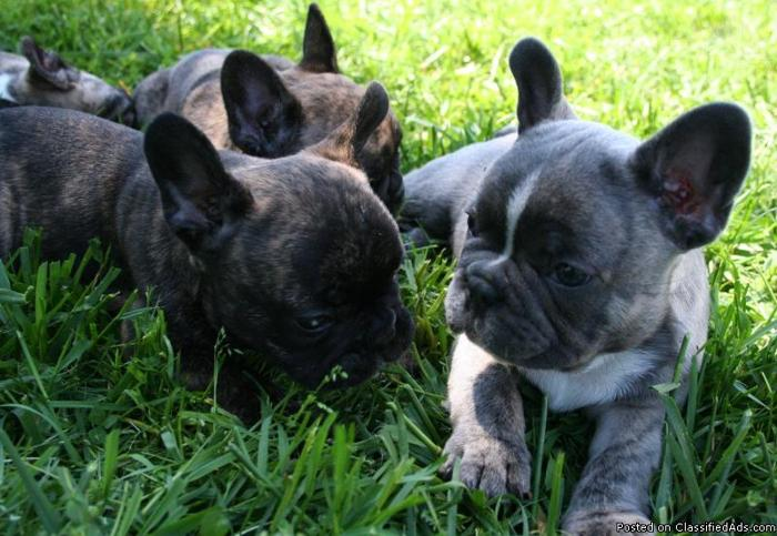 french bulldog pcci papers for sale 3 years old pcci papers stud fee 2,000 w/ shooter 2 x mating blue gold color small type teacup proven many times very prolific gives 4 to 6  french bulldog for sale.