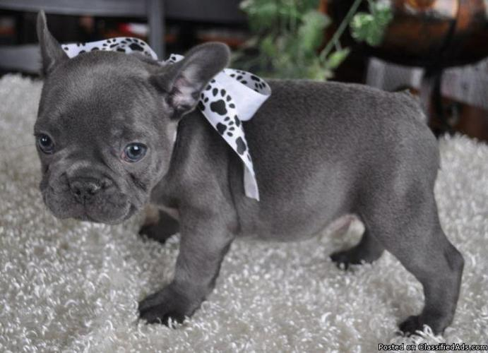 blue french bulldog pups ready