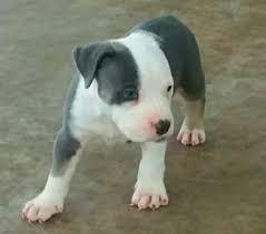 blue nose puppy