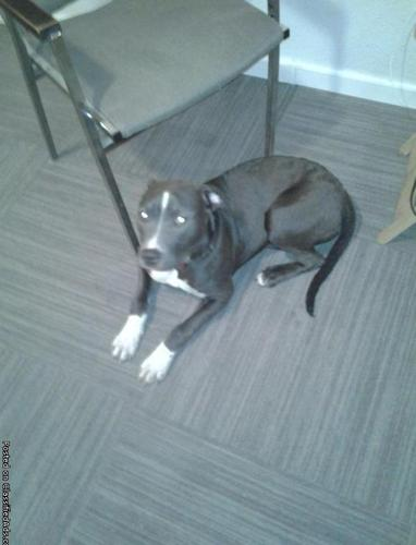 Bluenose pitt pup