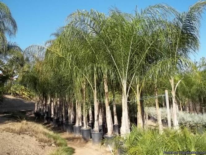 Brazilian Queen Palms Arecastrum Romanzoffianum Price 18