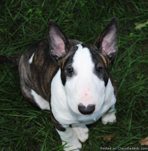 Bull Terrier Puppies available
