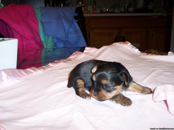 Buypoodles.com has poodle & yorkie pups