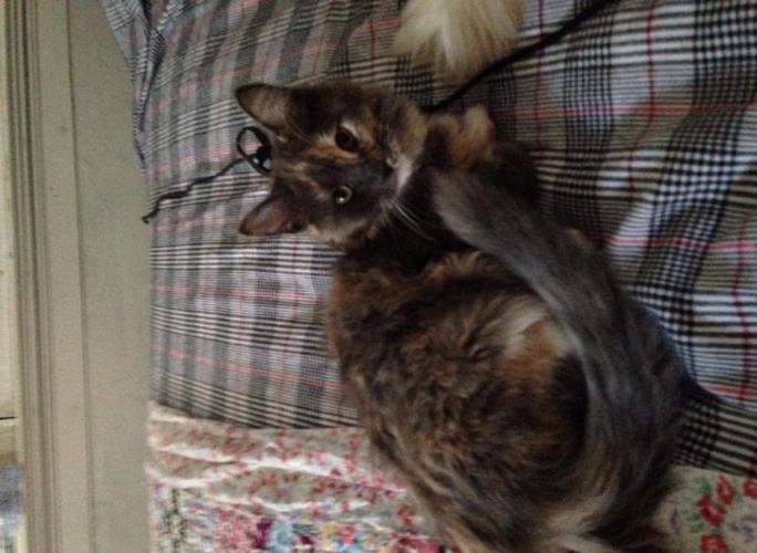 CFA Ch Bred Maine Coon Kitten