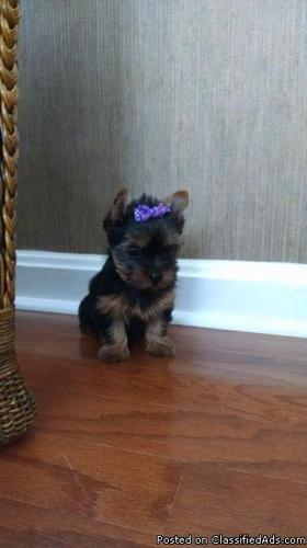 Ch. Lines Tea-cup Yorkie Female Puppies