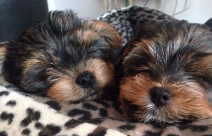Charming and Cute Yorkie Puppies