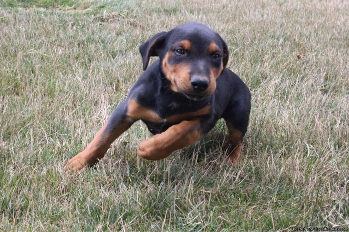 Chase Rottweiler