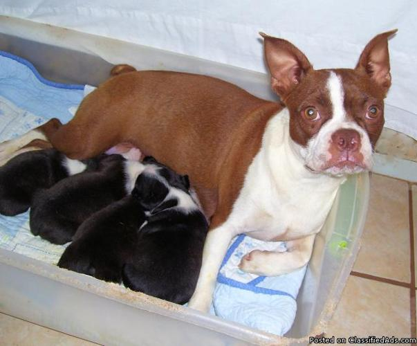 boston terrier puppies price ckc boston terrier puppies ready may 14th price 300 00 3807