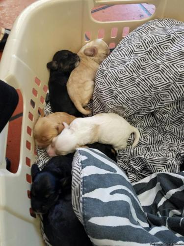 Cooker Spaniel puppies