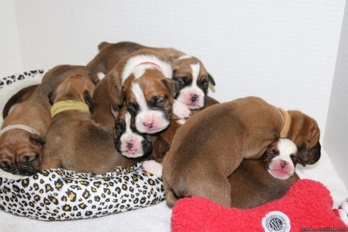 Cute Bulloxer Puppies